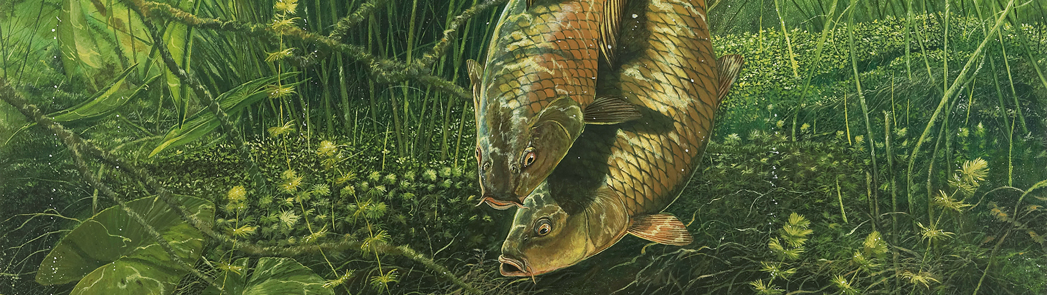 how to tell if carp are spawning
